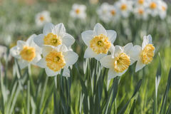 Daffodil flowers in the garden Stock Photography