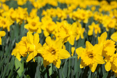 Daffodil flowers. In garden in sunlight Royalty Free Stock Photography