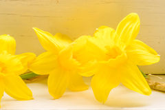 Daffodil flowers in indoor environment royalty free stock photography