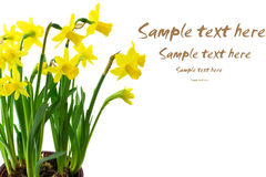 Daffodil flowers isolated. On white with copyspace Stock Photo