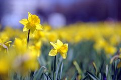 Daffodil. Flowers - daffodil just before spring royalty free stock photo