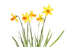 Daffodil flowers and leaves Stock Photography