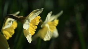 Daffodil flowers. Macro close up of daffodil flowers blowing in breeze stock video footage