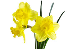 Daffodil Flowers Royalty Free Stock Images