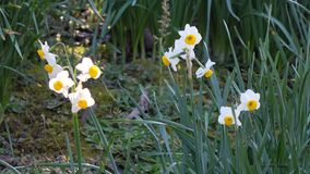 Daffodil flowers. (Narcissus) at the garden stock footage