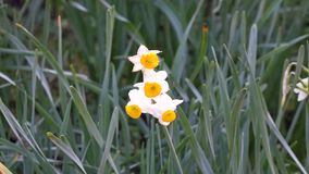 Daffodil flowers. (Narcissus) at the garden in Kyoto, Japan. Narcissus were well known in ancient civilisation, both medicinally and botanically, but formally stock footage