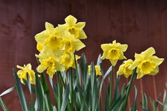 Daffodil Flowers in Spring. Close-up View of Daffodils (Narcissus pseudonarcissus) Growing in a Garden in Spring Royalty Free Stock Images