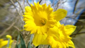 Daffodil flowers in spring in Germany. Daffodil flowers in spring in a forest in Germany with singing birds stock video footage