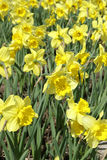 Daffodil Flowers In Spring Royalty Free Stock Photo