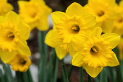 Daffodil flowers in spring garden closeup Stock Image
