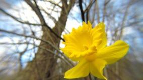 Daffodil flowers in spring in Germany. Daffodil flowers in spring in a forest in Germany stock video footage