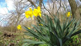Daffodil flowers in spring in Germany. Wild in a forest with singing birds stock footage