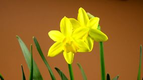 Daffodil flowers on a turn table. With brown background stock footage