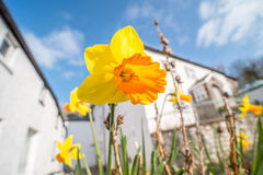 Daffodil flowers and white house Royalty Free Stock Image