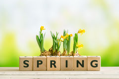 Daffodil flowers and the word spring Royalty Free Stock Photo
