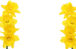 Daffodil frame. Golden daffodil flowers form a frame with copy space in the center stock photos