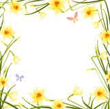Daffodil frame. Spring frame with yellow daffodils Stock Image