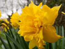 Daffodil frilly and pretty looking in spring Stock Photos