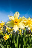 Daffodil Front On Royalty Free Stock Image