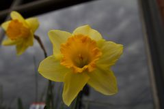 Daffodil in front of a reflective window. A yellow daffodil in front of a window reflecting the cloudy sky Stock Image