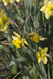 Daffodil in the garden Royalty Free Stock Images