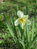 Daffodil. A daffodil in a garden Stock Photos