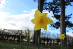 Daffodil in garden Royalty Free Stock Photography