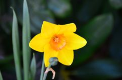 Daffodil in Garden Royalty Free Stock Images