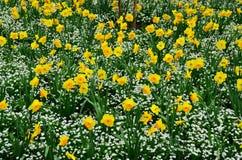 Daffodil Garden Royalty Free Stock Photos