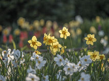 Daffodil in garden in spring Royalty Free Stock Photo