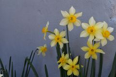 Daffodil in the garden on the wall background. In the spring Royalty Free Stock Photo