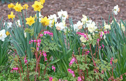 Daffodil Garden Royalty Free Stock Photo