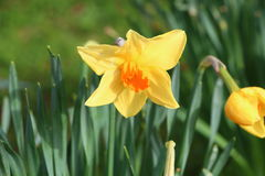 Daffodil in a garden Stock Photos