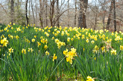 Daffodil Garden. Yellow Daffodil in sunlight with woods behind them Royalty Free Stock Photo
