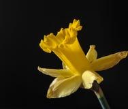 Daffodil giallo di fioritura Immagine Stock