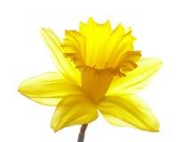 Daffodil giallo di pasqua Fotografie Stock