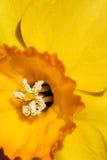 Daffodil giallo luminoso Immagini Stock Libere da Diritti