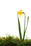 Daffodil in grass Royalty Free Stock Images
