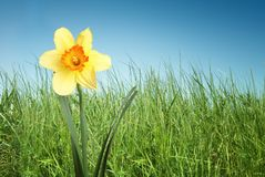 Daffodil in grass on sky background. Daffodil in green grass on blue sky background Stock Photo