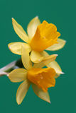 Daffodil on green Stock Photo