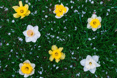 Daffodil on green grass background. Yellow and white narcissus. Greeting card. Copy space. Top view. Stock Photo