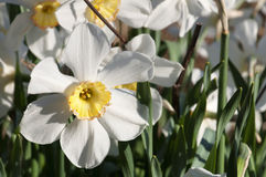 Daffodil. A group of white daffodils  in the garden Stock Image