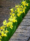 Daffodil Hedge Royalty Free Stock Photos