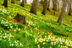 Daffodil hill. In Cleveland's Lake View Cemetery, is covered with blooms every spring royalty free stock image