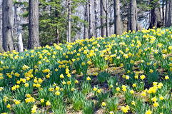 Daffodil HIll. Image of Daffodil Hill, Lakeview Cemetery, Cleveland Ohio Stock Photos