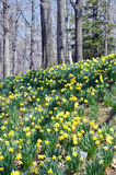 Daffodil HIll. Image of Daffodil Hill, Lakeview Cemetery, Cleveland Ohio Royalty Free Stock Photo