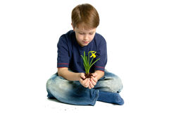 Daffodil in his hands. Boy sat holding a daffodil in his hands, white background with a slight shadow and some dirt Stock Photo