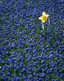 Daffodil in hyacinth field Stock Image
