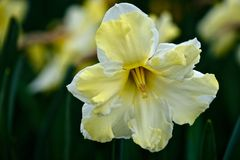 Daffodil hybrid flower. Yellow daffodil in Roozengaard. Mt Vernon. Washington. USA royalty free stock image