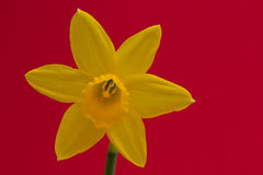 Daffodil isolated Stock Images